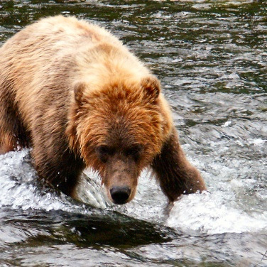 Alaska Brown Bear Boar in river, Kenai Peninsula Alaska