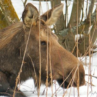 Alaska cow moose closeup