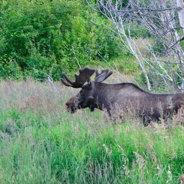 Bull moose in velvet, Anchorage, Alaska