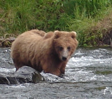 Grizzly bear boar fishing in a river