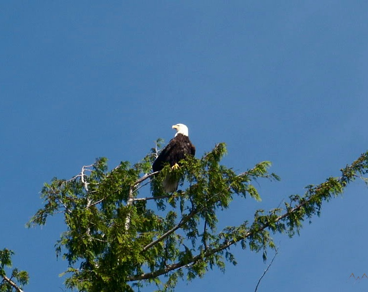 Bald eagle in a treetop Anchorage Alaska