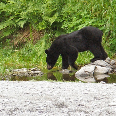 Black bear foraging along a river, Kenai Peninsula Alaska