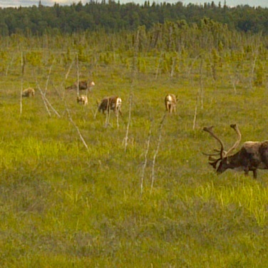 Caribou on the Kenai Peninsula