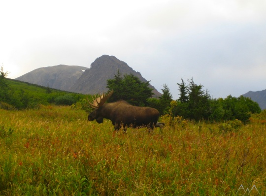 Massive bull moose in a valley in the Chugach Mountains. Photo taken during one of our five-hour Anchorage area tours.