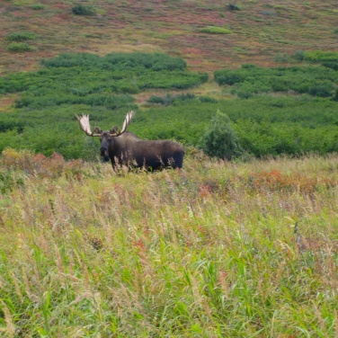 Large bull moose in a valley in the Chugach Mountains. Photo from one of our three-hour Anchorage area tours.
