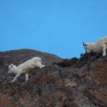 Dall Sheep Ewe Lamb 001