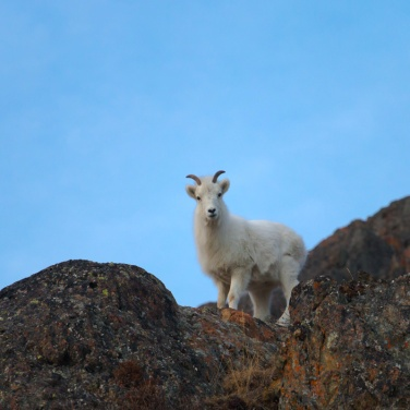 Dall Sheep Ewe 001