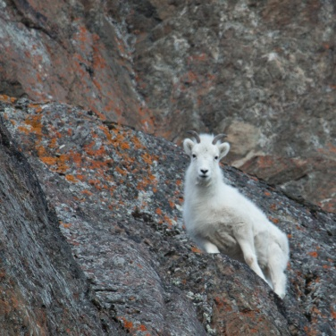 Dall Sheep Ewe, Chugach Mountains. This photo was taken on one of our three-
