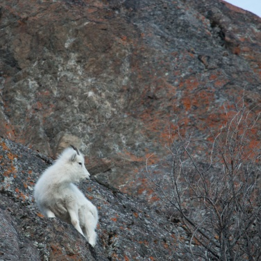 Dall Sheep 002