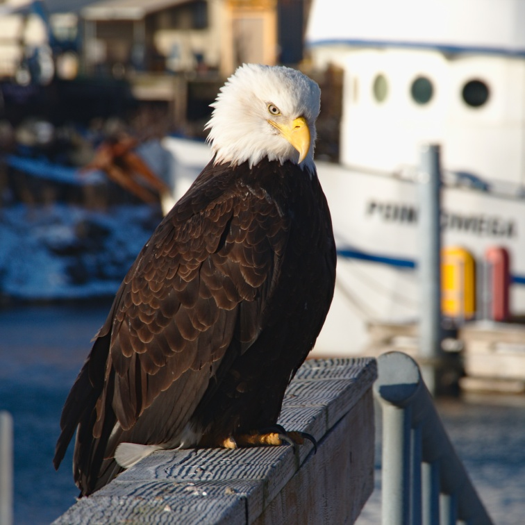 Bald Eagle on a pier in the harbor