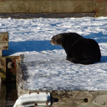 Sea Otter sunning in the snow on a dock
