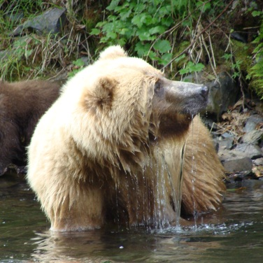 Water pours from her face as this Brown Bear sow pauses fishing to check out what's happening downstream