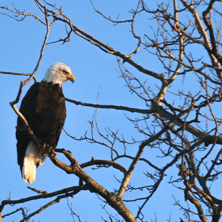 Bald Eagle, Eagle River Alaska