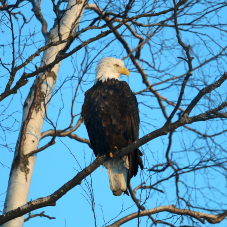 Eagle River Bald Eagle 003