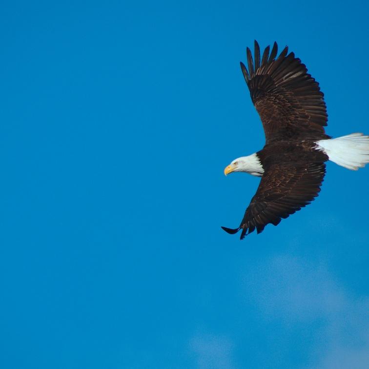 Bald Eagle sails through clear blue sky