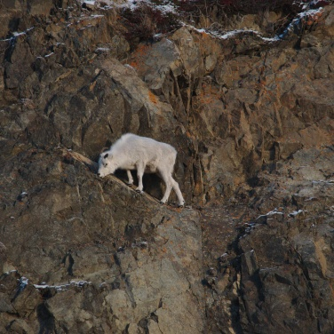 Ewe on a cliff