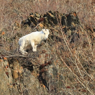 Ram Lamb on a cliff