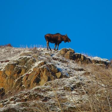 Moose above a cliff, Turnagain Arm near Anchorage Alaska