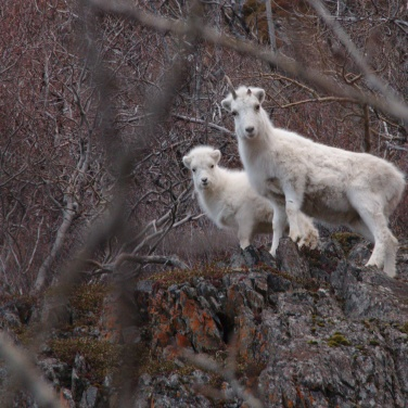 Dall Sheep ewe and her lamb