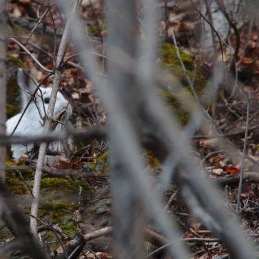 Snowshoe hare in cover