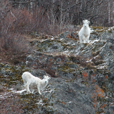 Two Dall Sheep ewes on a rocky cliff