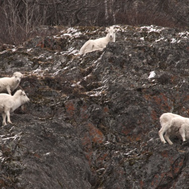 Four Dall Sheep on a rocky cliff