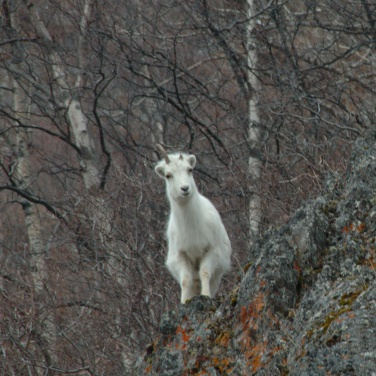 Odd-horned Ewe Dall Sheep