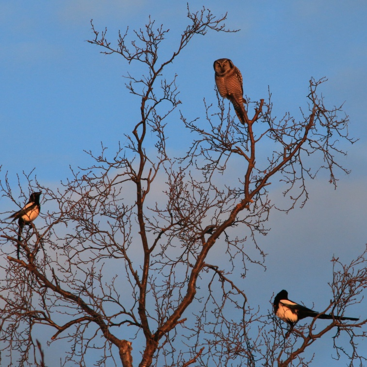 Northern Hawk Owl is heckled by magpies