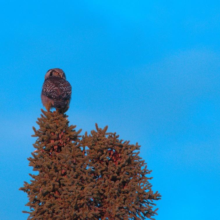 Northern Hawk Owl in Spruce