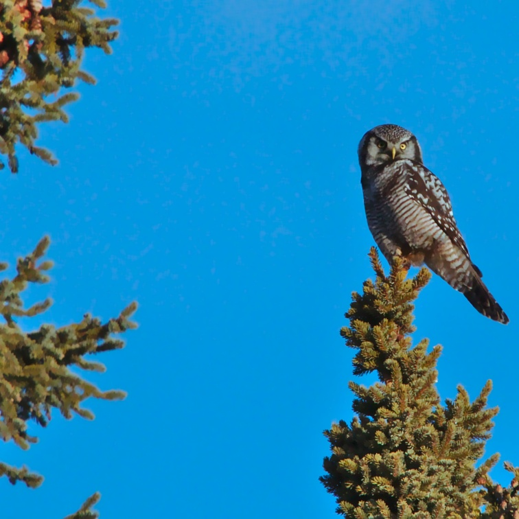 Beautiful Northern Hawk Owl in the top of a spruce, Anchorage Alaska