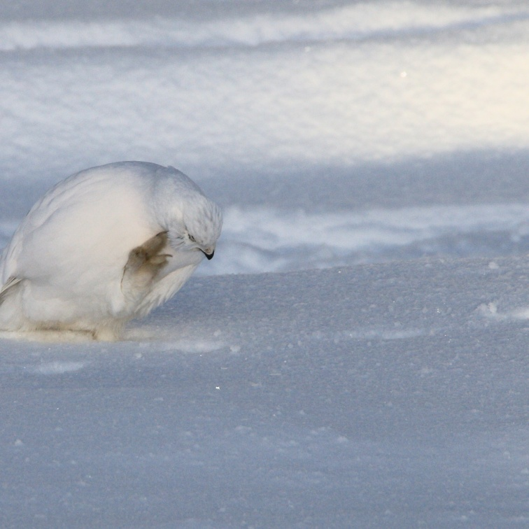 This Willow Ptarmigan was caught scratching an itch