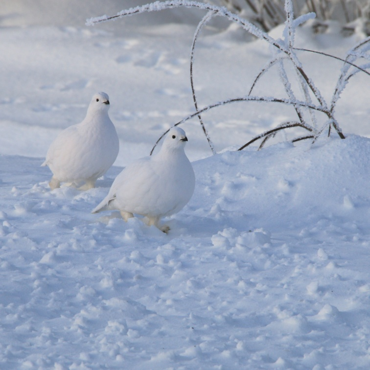 A pair of Willow Ptarmigan run near some brush