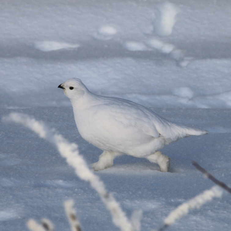 A Willow Ptarmigan in winter white plumage runs behind some brush.