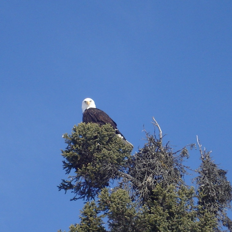 Bald Eagle in spruce tree top near Ketchikan Alaska