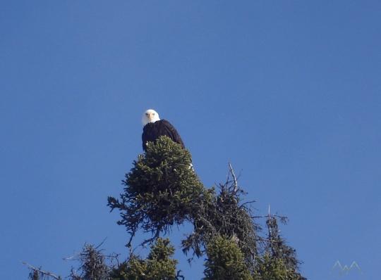 Bald Eagle in spruce tree top, Ketchikan Alaska