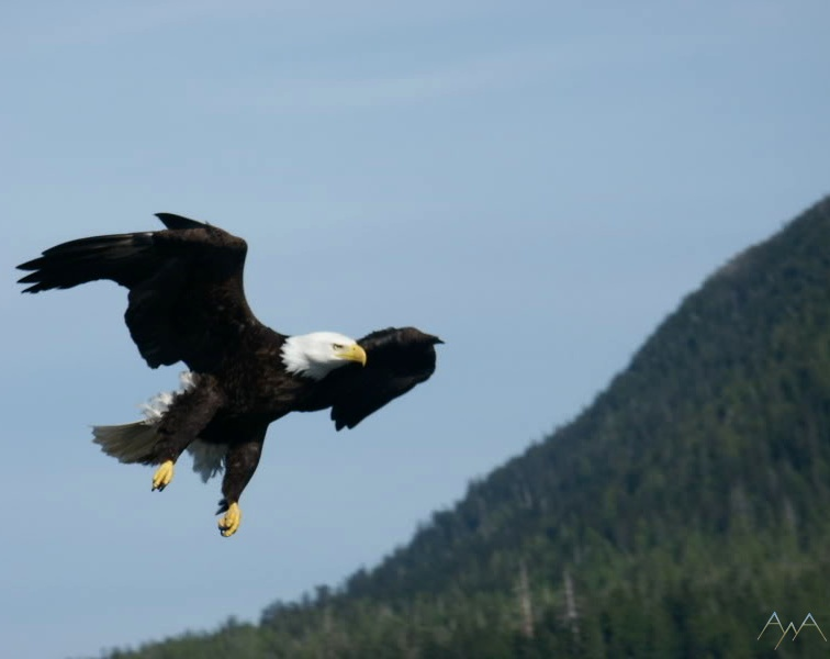 Bald Eagle in flight near Ketchikan Alaska