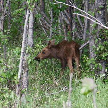 Moose calf in trees, Anchorage Alaska