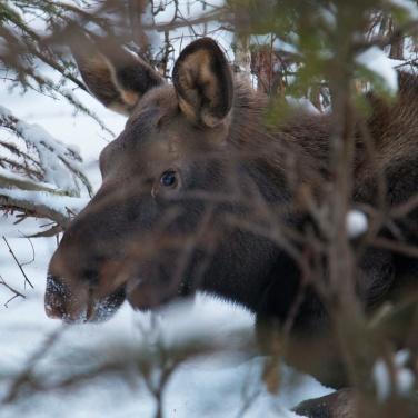 Moose Calf, Anchorage Alask