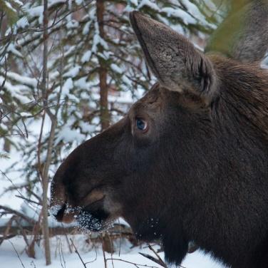 Moose Calf, Anchorage Alaska