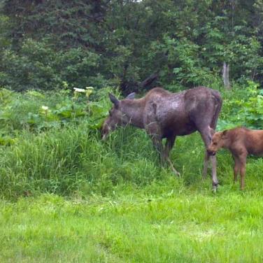 Moose cow with calf Anchorage Alaska
