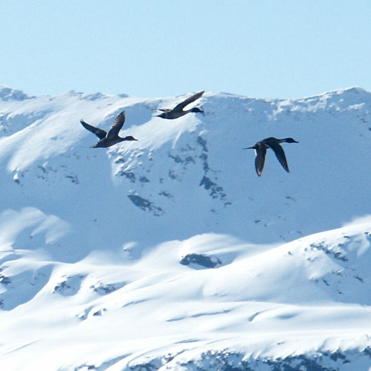 Pintail ducks in flight, Summit Lake, Turnagain Pass Alaska