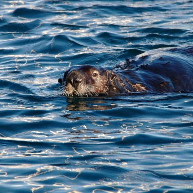 Swimming Sea Otter