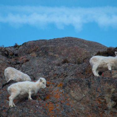 Three Dall Sheep 003