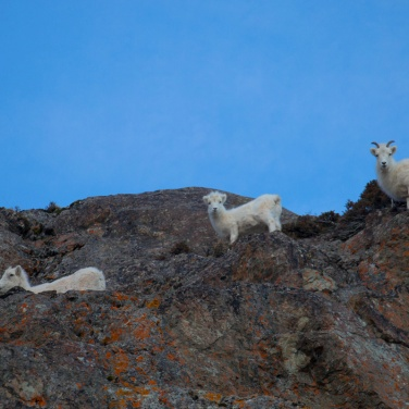 Three Dall Sheep 005