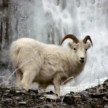 A young ram Dall Sheep in front of a frozen waterfall