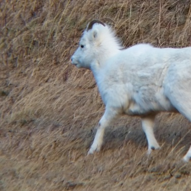 Young ewe Dall Sheep in grass
