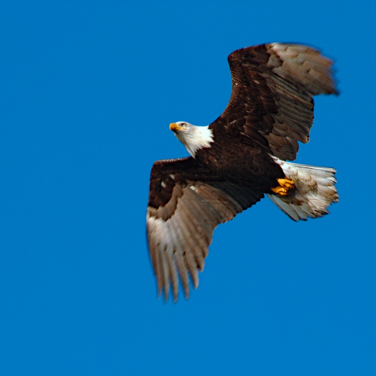 Bald Eagle with light wings