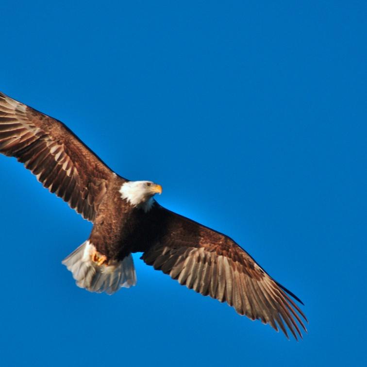 Soaring Bald Eagle in clear blue sky