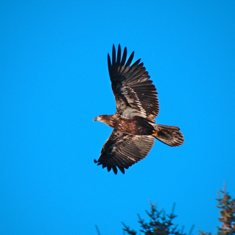 Soaring Juvenile Bald Eagle over spruce trees in clear blue sky