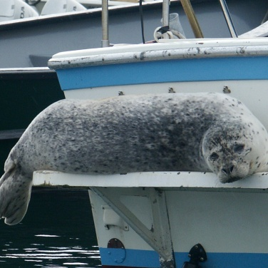 Harbor seal resting on the swim deck of a fishing boat in Whittier Alaska